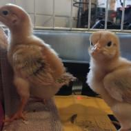 Surprise Baby Chicks