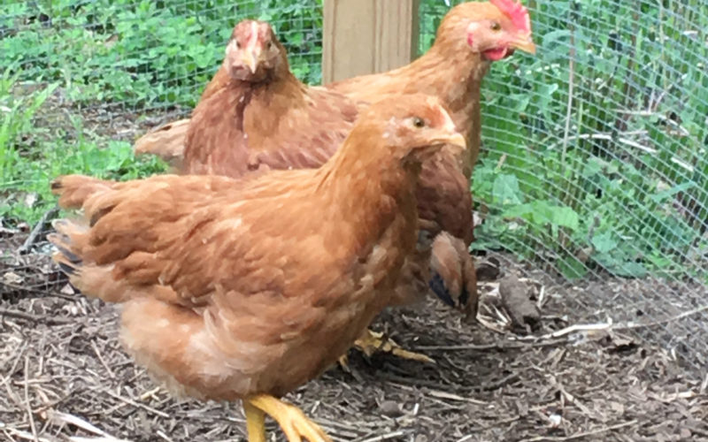 New Girls In The Coop