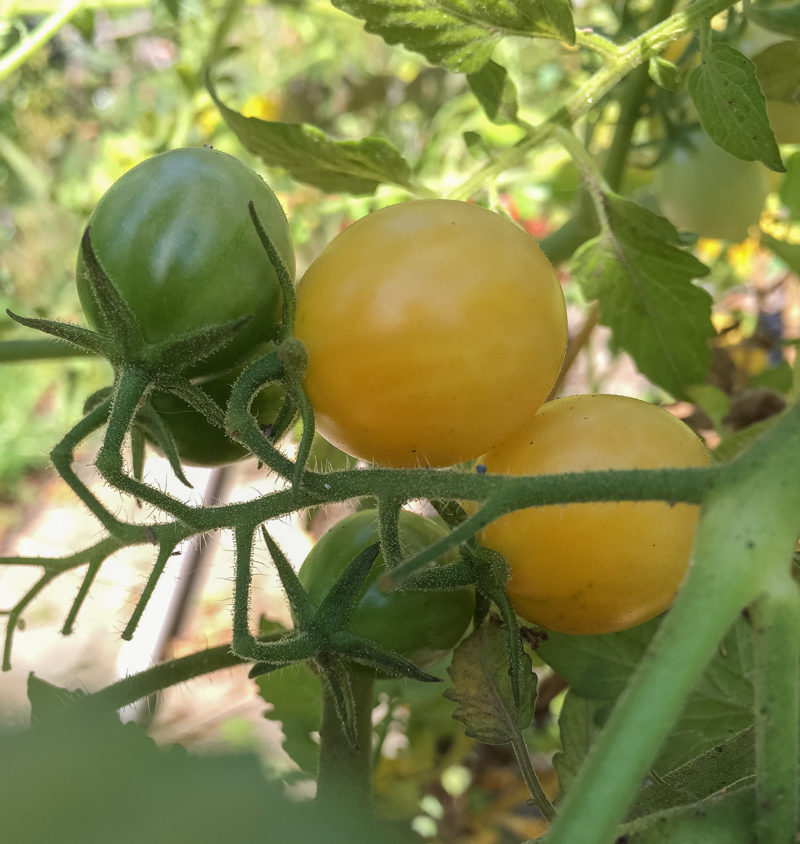 Summer's Surprise Tomatoes